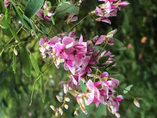 八木山 金剛沢緑地の萩の花